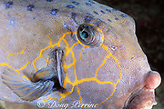 yellow boxfish adult, Ostracion cubicus, Layang Layang Atoll, Malaysia ( South China Sea )