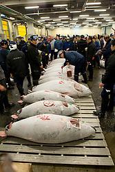 Asia, Japan, Tokyo, tuna on display at auction in Tsukiji Fish Market