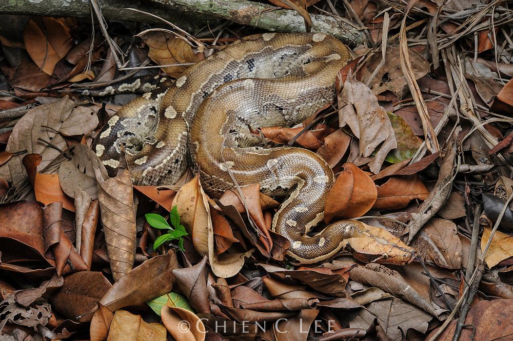 Borneo Short-tailed Python (Python breitensteini). Sarawak, Malaysia (Borneo).