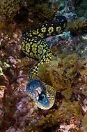 Marbled moray, Muraena helena, Princess Alice, Azores, Portugal