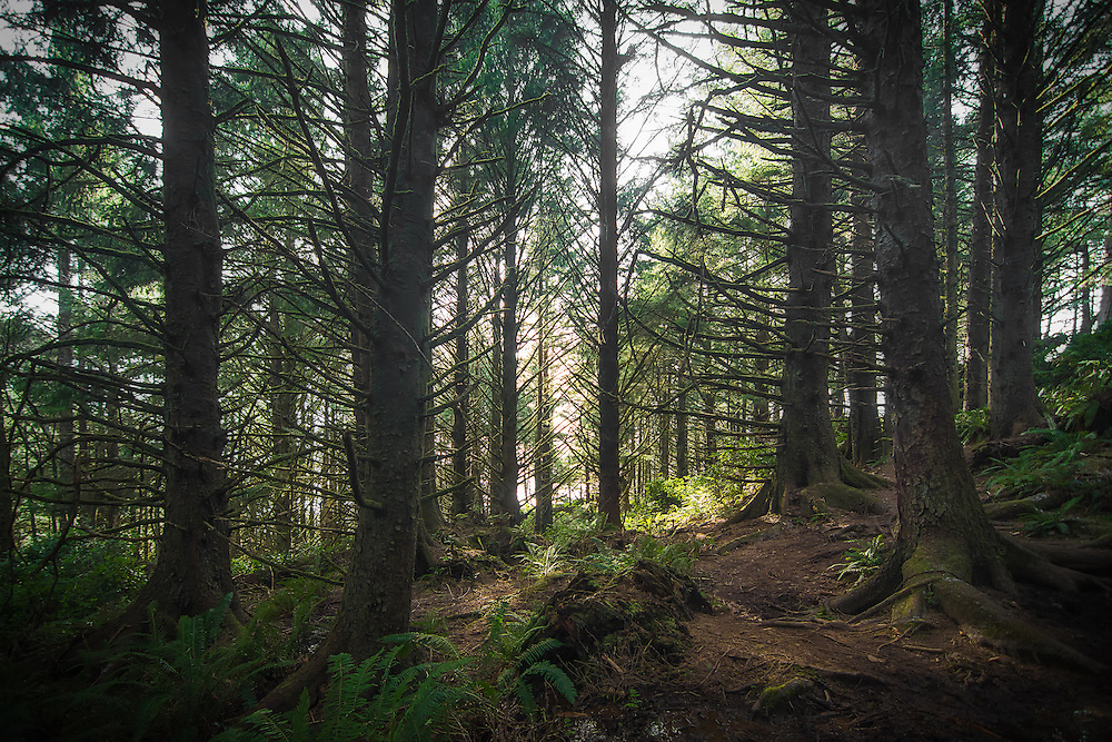 A Sitka spruce forest near Oregon's Cannon Beach on a rare sunny winter day. These gorgeous coastal forests stretch along most of the Pacific Northwest's Pacific coast and support a rich variety of wildlife.