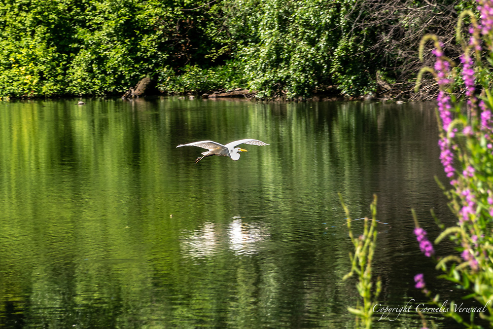 A Great Egret came in for a landing today at The Pond in Central Park