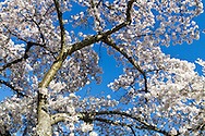 A large Cherry tree is covered in blossoms at Queen Elizabeth Park in Vancouver, British Columbia, Canada