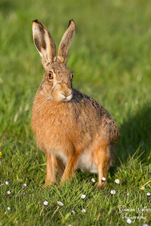 European hare, Lepus europaeus - portrait showing large eyes, looking right,  Cheshire - April