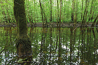 A pool (remain of the flooded season) in a forest of grey alder (Alnus incana) in between Košutarica and Mlaka areas. The picture was taken inside a mine field that, after one month work and notwithstanding the precaution taken, I accidentally visited because the mine sign (unusual small size for Croatia) was partially covered by vegetation. Luckily, this time, same as I do in Bosnia, I followed the wild boar trails when I entered in the forest.  Lonjsko Polje Nature Park. Ramsar Site. Sisack-Moslavina county. Slavonia region. Posavina area. June 2009. Croatia. <br /> Elio della Ferrera / Wild Wonders of Europe