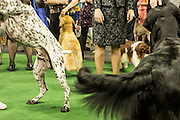 New York, NY - 16 February 2016. Excited dogs wag their tails preparing to enter the ring  at the 140th Westminster Kennel Club Dog show in Madison Square Garden.