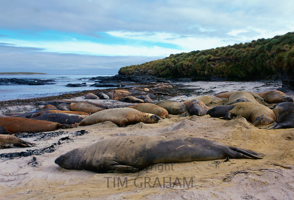 Elephant Seals lying on beach, Sea Lion Island, Falkland Islands