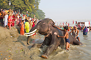 An elephant is being washed by its owners on a ghat (riverside) of the holy Ganges River during the yearly Sonepur Mela, Asia's largest cattle market, in Bihar, India.