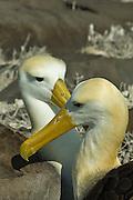 Albatross couple flirting in Galapagos