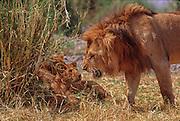 Male lion shows anger at cub who woke him up, Serengeti National Park Tanzania
