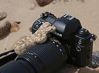 Mojave desert sidewinder, Crotalus cerastes cerastes, rests on a camera in Death Valley National Park, California