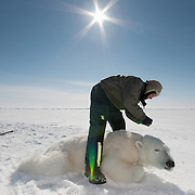 Dr. Steve Amstrup working with a female polar bear that is coming out of an immobilizing drug on the Beaufort Sea ice pack.