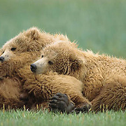 Alaskan Brown Bear, (Ursus middendorffi) Two cubs resting, leaning on mother . Alaskan Peninsula.