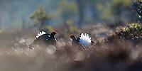 11.04.2009.Black Grouse (Tetrao tetrix) displaying on a bog. Fighting. Lekking behaviour. Courting. Frost..Bergslagen, Sweden.