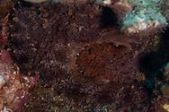 Hawaiian Octopus, Common Octopus, Octopus cyanea, Gray, 1849, Hawaii