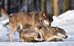 28.12.2014, Wildtierpark, Bad Mergentheim, GER, Wölfe im Wildtierpark Bad Mergentheim, im Bild Maennlicher Leitwolf, Alphawolf, Zurechtweisung, Rangordnung, Dominanz, Timberwolf, Kanadischer Wolf (Canis lupus occidentalis) im Schnee, captive // Wolves in the Wildtierpark in Bad Mergentheim, Germany on 2014/12/28. EXPA Pictures © 2015, PhotoCredit: EXPA/ Eibner-Pressefoto/ Weber<br /> <br /> *****ATTENTION - OUT of GER*****
