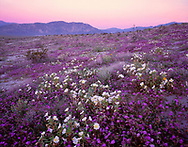 CADAB_110 - Desert sand verbena and dune evening primrose blooming on dunes at sunrise with Coyote Mountain in the distance, Anza-Borrego Desert State Park, California, USA