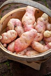 Potato 'Pippa' in a wooden trug. Solanum tuberosum