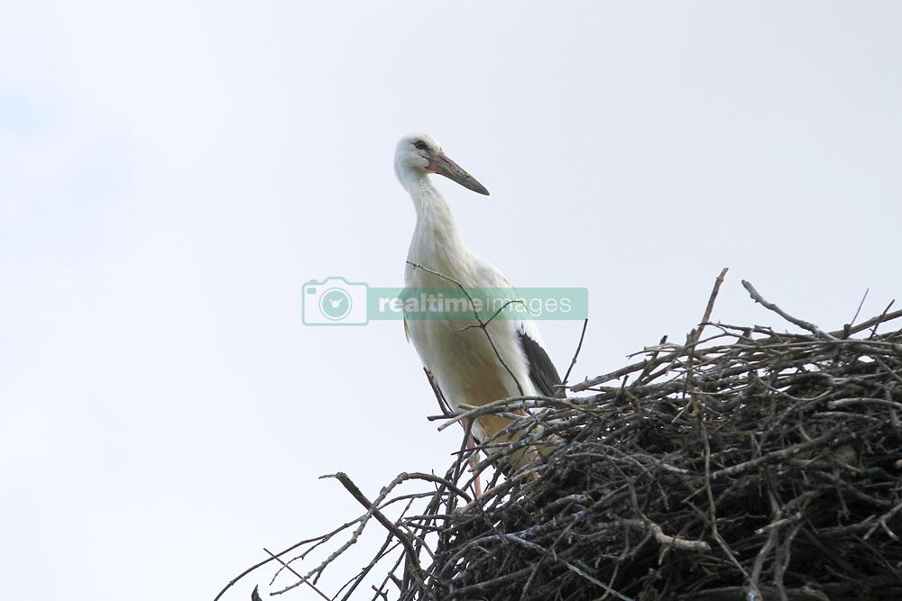 August 6, 2017 - Ihlow, Dorf, Oberbarnim in Märkisch Oderland, Germany - Young storks in Ihlow in of the Märkisch Oderland in Germany. (Credit Image: © Simone Kuhlmey/Pacific Press via ZUMA Wire)