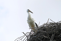 August 6, 2017 - Ihlow, Dorf, Oberbarnim in Märkisch Oderland, Germany - Young storks in Ihlow in of the Märkisch Oderland in Germany. (Credit Image: © Simone Kuhlmey/Pacific Press via ZUMA Wire)