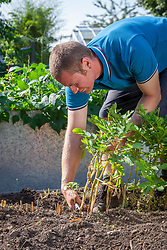 Removing top leaves from potatoes suffering from potato blight
