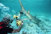 Stan Waterman films as research volunteer Bob Jureit delivers pup from pregnant lemon shark, Negaprion brevirostris, captured in University of Miami research program, Bahamas  ( Western Atlantic Ocean )