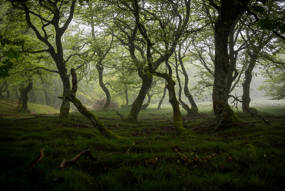 Mist moves through beech trees in a forest in the Pyrenees Mountains. This view is from the Camino de Santiago, between the French border and the Spanish town of Roncesvalles.