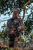 Crested Hawk Eagle, Yala National Park, Southern Province, Sri Lanka.