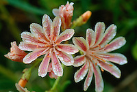 Cloe-up of Heckner's Lewisia flowers.  Klamath Mountains, CA