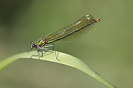 Banded Demoiselle - Calopteryx splendens<br /> female
