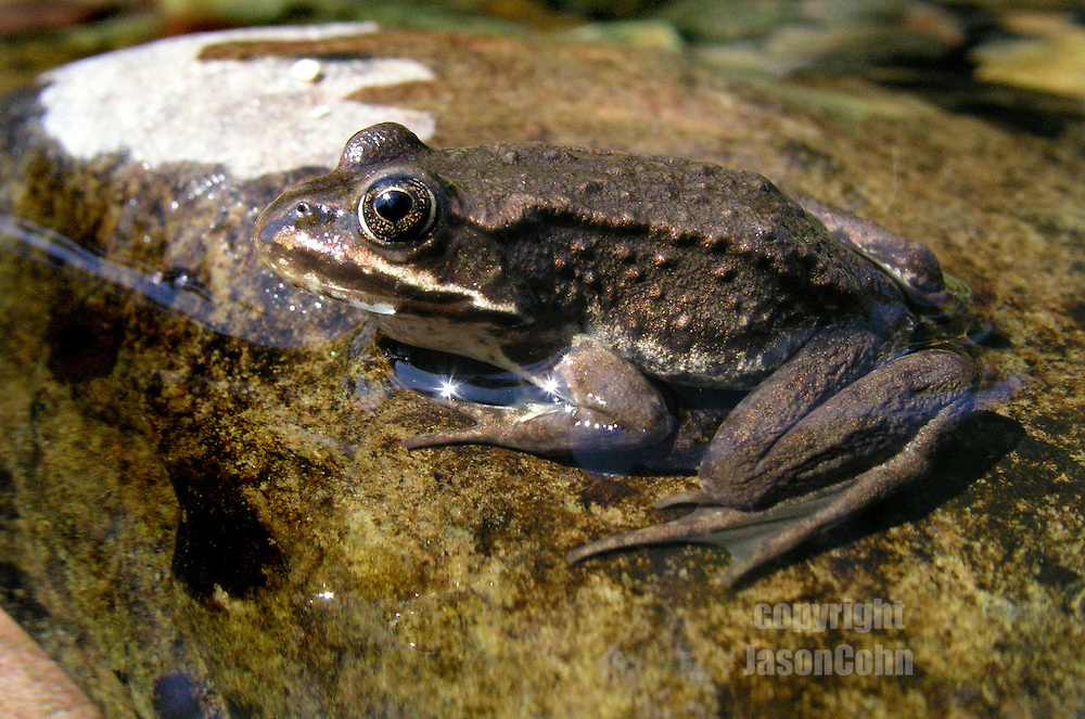 A frog sits on a rock in Quartz Creek in Glacier National Park, Montana. Photo by Jason Cohn
