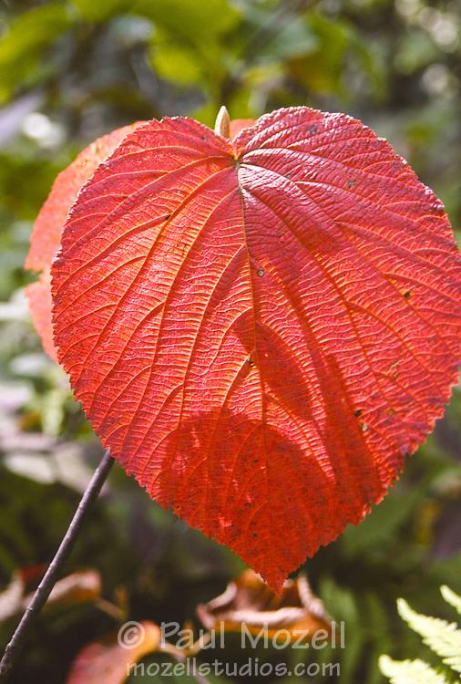Hobblebush leaves in fall color, somewhere in Eastern Massachusetts