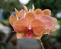 Phalaenopsis The Moth Orchid