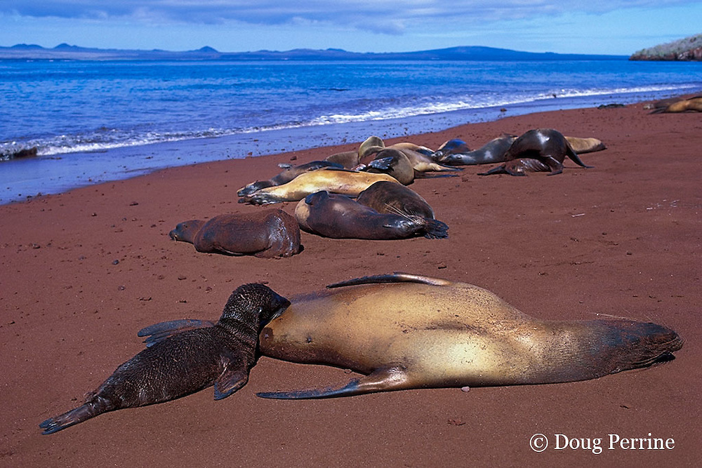 Galapagos sea lion nursing pup, Zalophus californianus wollebaeki, Rabida or Jervis Island, Galapagos Islands, Ecuador, ( Eastern Pacific Ocean )