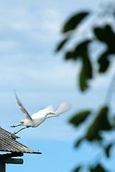 Garças levanta vôo de um telhado em frente a lagoa na Praia da Ribanceira no municipio de Imbituba, SC.<br /> <br /> FOTO: Jefferson Bernardes / Preview.com