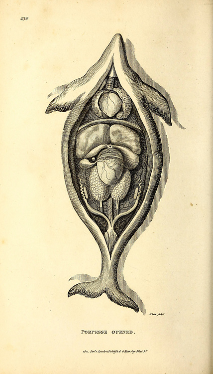 Dissected Porpesse (Porpoise) from General zoology, or, Systematic natural history Vol II Part 2 Mammalia, by Shaw, George, 1751-1813; Stephens, James Francis, 1792-1853; Heath, Charles, 1785-1848, engraver; Griffith, Mrs., engraver; Chappelow. Copperplate Printed in London in 1801 by G. Kearsley