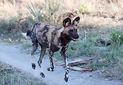 Wild dog walking in grassland