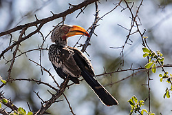 Toucan bird perching on tree branch, Namibia, Africa