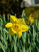 Image of a daffodil (genus Narcissus) taken in Fitchburg, Wisconsin, USA.