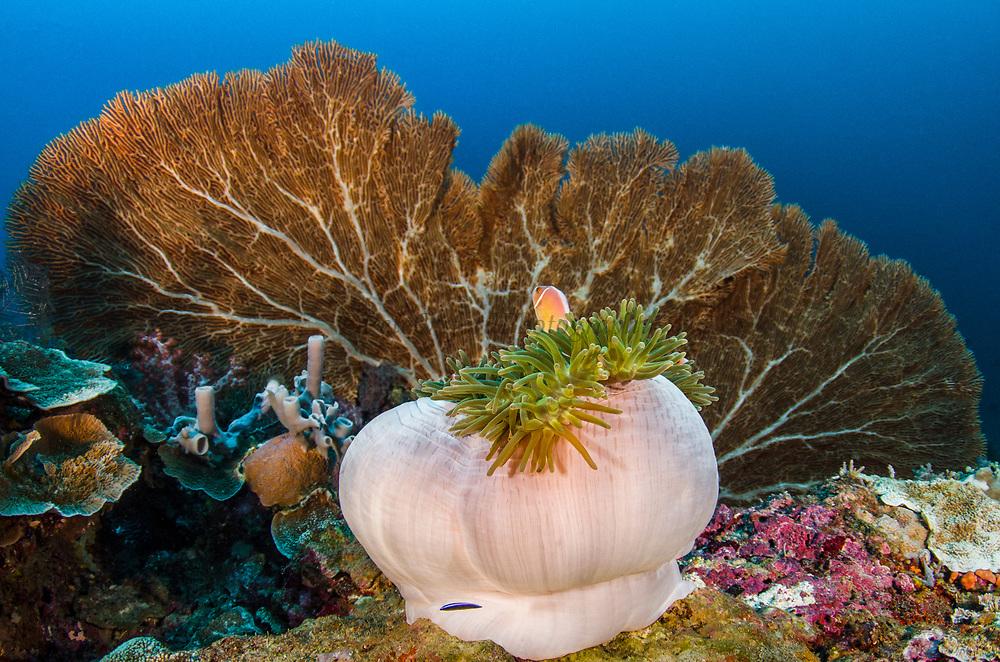 Pink Anemonefish (Amphiprion perideraion) & Magnificent Sea Anemone (Heteractis magnifica)<br /> Raja Ampat<br /> West Papua<br /> Indonesia
