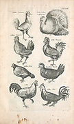 Turkeys and chickens 17th-century artwork. This artwork is from 'Historiae naturalis de quadrupetibus' (1657) by Polish scholar and physician John Jonston (1603-1675).