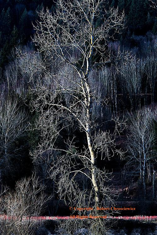 Stark Sunset: Sunset forms a stark scene upon barren poplar trees, Agassiz British Columbia, Canada.