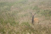 Female tule elk, Cervus elaphus nannodes, in fog at Point Reyes National Seashore, California