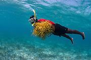 Edible algae (Euschimia spp.)<br /> Lighthouse Reef Atoll<br /> Belize<br /> Central America