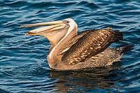 peruvian pelican swallowing fish in the peruvian coast at Piura Peru