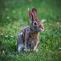 Rabbit in Backyard. Late Spring Nature in New Jersey. Image taken with a Nikon D3x and 500 mm f/4 VR lens (ISO 400, 500 mm, f/4, 1/200 sec). Raw image processed with Capture One Pro, Focus Magic, and Photoshop CS5.