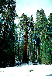 CA: Sequoia-Kings Canyon National Park: General Sherman, sequoiadendron giganteum, Largest tree on earth, catree101.Photo copyright Lee Foster, 510/549-2202, lee@fostertravel.com, www.fostertravel.com. .