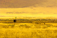 A mother ostrich and her babies, Sossusvlei Sand Dunes (highest dunes in the world), Namib Desert, Namib-Naukluft National Park, Namibia
