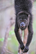 """howler monkey,  Alouatta caraya. Belize, baboon sanctuary, A unique conservation effort brings together eight villages to protect the population and habitat of Belize's Black Howler Monkey, affectionately called """"baboons"""" by the locals. A wild howler monkey has a man made star stuck in it's fur."""