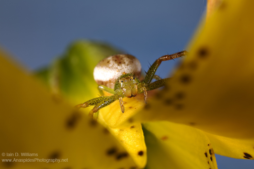 Crab spiders are no active hunters. They make more use of the camouflage techniques than other spiders and catch their prey with their front legs. The color of the spider is adapted to the hunting terrain they use and is mostly extravagant. They remain unmoved until the prey arrives and catches it. With a poisonous bite (not dangerous to humans) they kill their prey and suck it dry